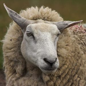 Bakharwal Sheep