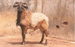Balangir Breed