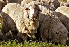 bharat merino sheep
