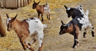 Goat Care and Goat Breeding.