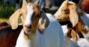 Profitable Goat Farming Pdf - Sheep Farm