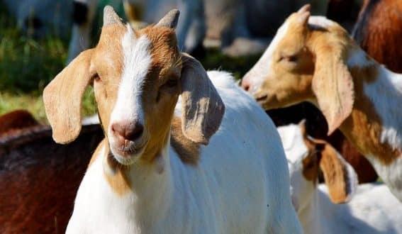 Goat Farming Business.