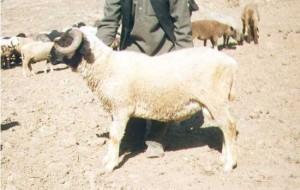 Gurez sheep