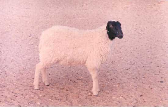 Jaisalmeri-Sheep Breed...