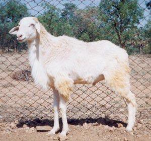 Mecheri Sheep.