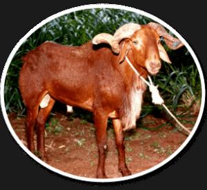 Madras red sheep