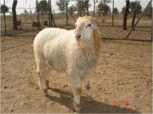 Malpura Sheep Breed.