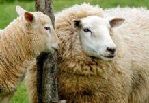 Sheep Case Study.
