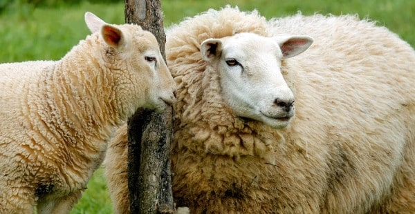 Profitability Analysis of Sheep Farming in Turkey: a Case ...