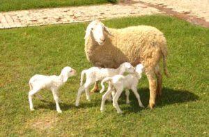 newborn sheep