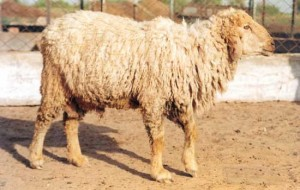 Nali sheep