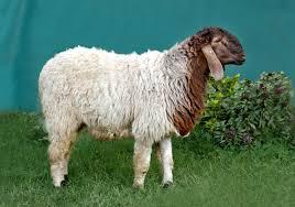 Patanwadi Sheep