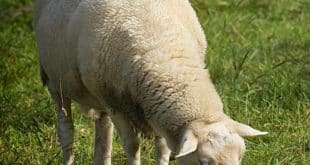 FMD in Sheep.