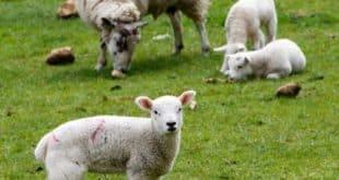 Sheep Rearing Business.