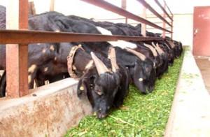 Stall feeding Goat pic