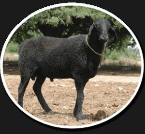 Trichy Black sheep