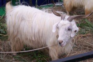 changthangi Goat