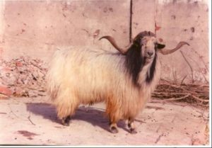 Chegu goat