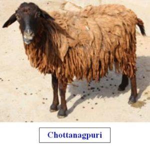 chottanagpuri sheep