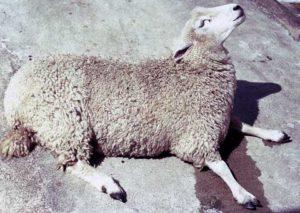 disease sheep