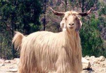 Gaddi Sheep.