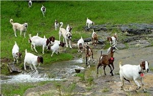 goat farming benifits