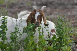 Goat Fodder Management
