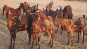 goats-for-sale-sojat-and-sirohi-goat-21668340