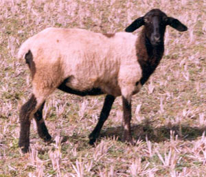 hassan sheep