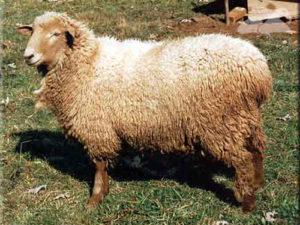 sheep breed