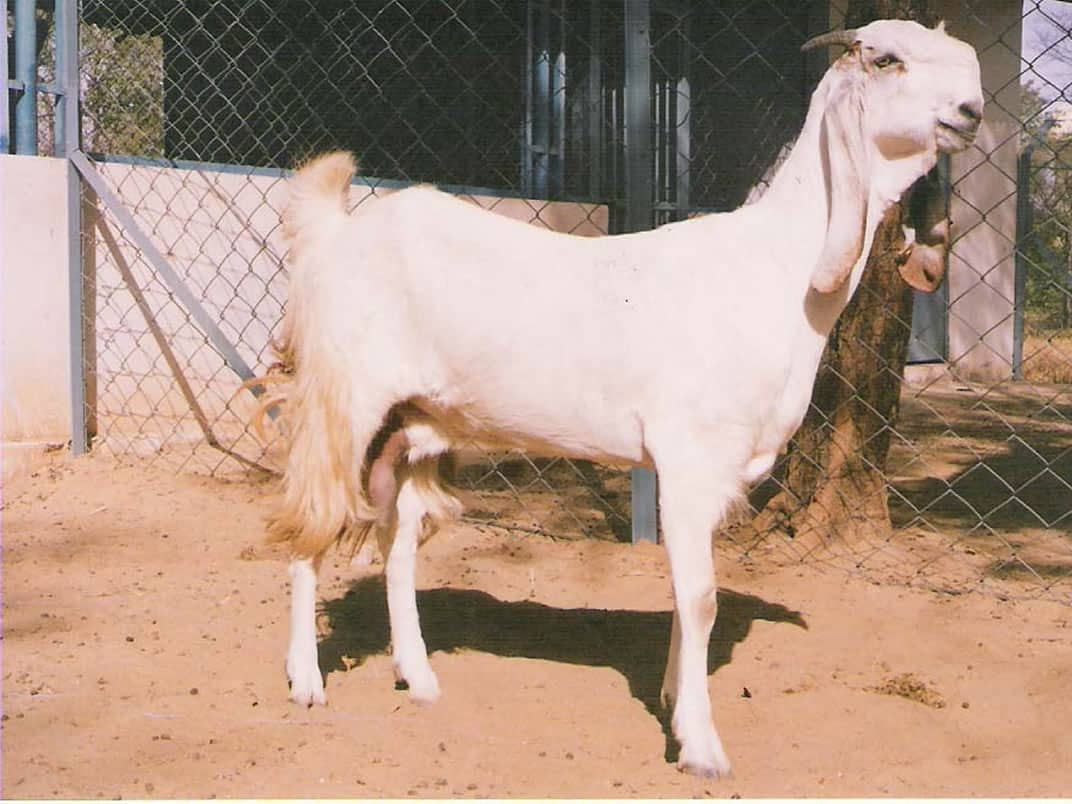 Jamunapari Goat Breed Profile Information | Sheep Farm