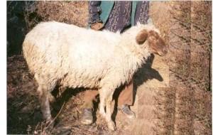 karnah sheep