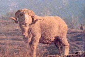kashmir merino sheep