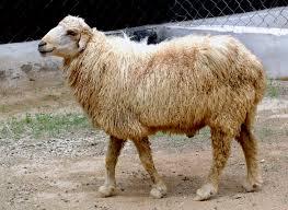 magra sheep