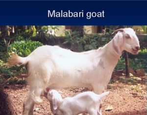 Malabari Goat.