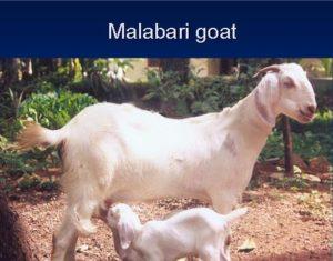 malabari goat