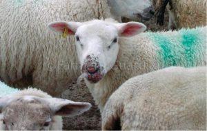 orf disease in sheep