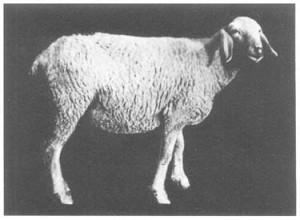 poonchi sheep