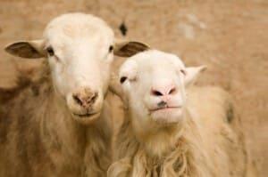 ppr-sheep
