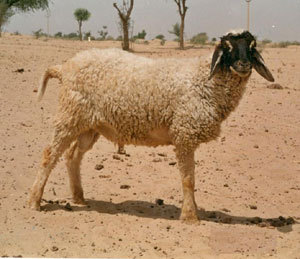 pugal sheep