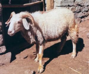 rampur bushair sheep