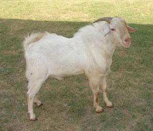 Sangamneri Goat.
