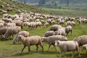 sheep farming benifits