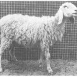 sonadi sheep