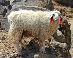 tibetan sheep female