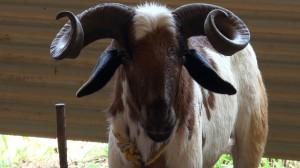 vembur goat ram