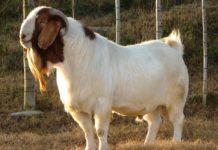 Boer Goats.