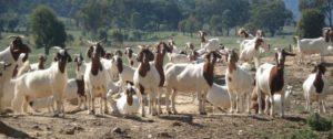 Commercial Goat Farming