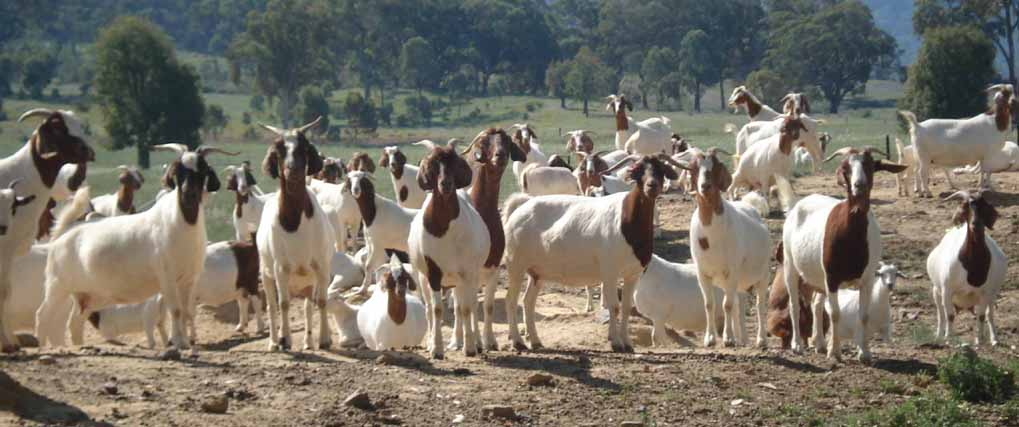 Commercial Goat Farming.