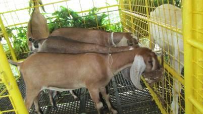 Broiler goat rearing.